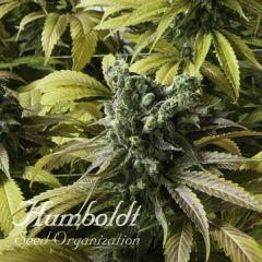 Desert Diesel Humboldt Seeds