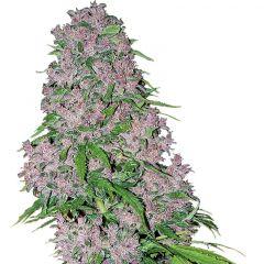 Purple Bud feminisiert White Label