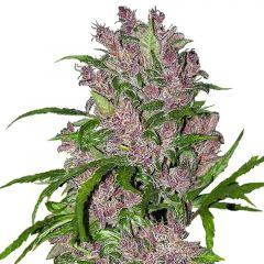 Purple Bud Auto White Label
