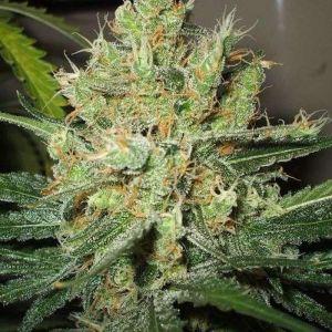 Pure Power Plant  Nirvana Seeds