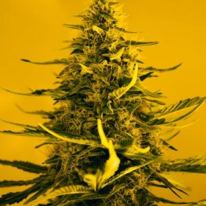 White Widow Nirvana Seeds